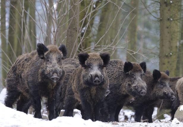 wild_boar_1
